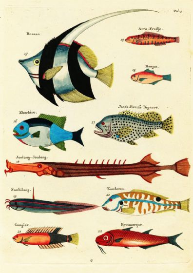 Renard, Louis: Illustrations of Marine Life Found in Moluccas (Indonesia). Art Print/Poster (4969)